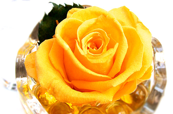 yellowroseimg