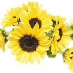 見てるだけで元気になる「ひまわり」の花贈り、楽しみ方